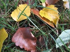 leaves close up (awynhaus) Tags: macro fall colors leaves closeup textures fallingleaves hardrain awynhaus soconfusing isitspringorfall allimagesareprotectedundertheunitedstatesandinternationalcopyrightlawsandmaynotbedownloadedreproducedcopiedtransmittedormanipulatedwithoutwrittenpermission