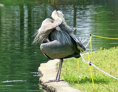 Downward Dog Pose With A Twist? (shesnuckinfuts) Tags: bird heron pond blueheron animalplanet backyardpond kentwa featheryfriday animaladdiction shesnuckinfuts gigglegram