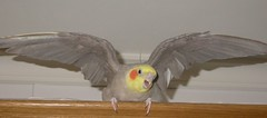 Piti (Buxo) Tags: carolina cockatiel loro australiano bird