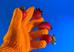 Berry Catch (dulcelife) Tags: blue red orange plants fruit contrast nikon nikond70 gardening harvest strawberries seeds textures gloves nikkor50mmf18 studiostudies removedfromnikkorfortags