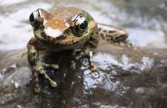 frog (pjhuang1) Tags: 20050710 taiwan hsinchu frog
