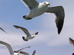 The french fry is the goal (jasohill) Tags: 2005 sea 15fav seagulls birds japan japanese day deleteme10 gulls flight attack best backgrounds a70 canona70  miyagi touhoku oshima kessenuma views400 fotocompetition fotocompetitionbronze