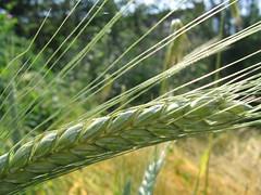 How to Grow Broom Corn