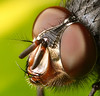 Fly Head (Lord V) Tags: macro bug insect fly blueribbonwinner specnature specanimal specinsect