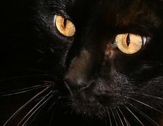 Yellow bright eyes
