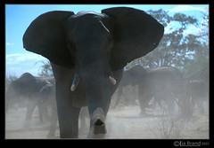 SHOULD I STAY or SHOULD I GO? (bocavermelha-l.b.) Tags: elephant fotolog safari chobe nikonf5 loxodontaafricana africanadventure fullframe serondella inafrica tt shootingwithnikonf5 inbotswana
