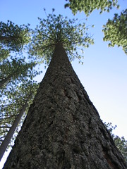 tahoe pine (cjw333) Tags: tree tahoe pine ilovenature nature