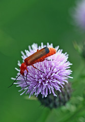 insect (Leo Reynolds) Tags: insect macro scoutleol30 thistle flower flora fauna animal minicardphoto01 leol30random groupallanimals scoutleol30set canon eos 350d 0006sec f45 iso100 60mm 1ev xepx xexflx xexplorex xscoutx xratioscoutx xxblurbbookxx xxblurbbookcoffeetablexx beetle xleol30x xxplorstatsx hpexif xx2005xx