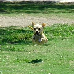 Hoverdog (crop) (natural gas) Tags: dog chihuahua buffy flydog