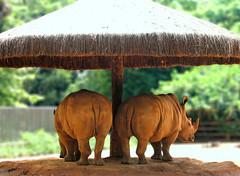 Parasol (Daniel Pascoal) Tags: public animal animals canon geotagged zoo dof sopaulo sp cabana rhino zoolgico animais a75 rhinoceros tenda dpg rinoceronte canona75 geo:lat=23650814 geo:lon=46620526 danielpg