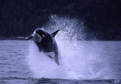 flying orca (JTCoastal) Tags: kill killer whale orca breach transient animalkingdomelite