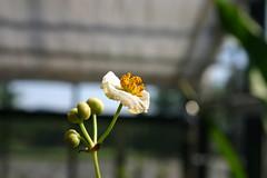Sagittaria (male) (Grobstein) Tags: usa flower male ma example greenhouse amherst amherstcollege sagittaria