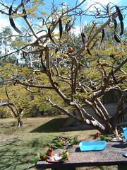 wild lorikeets (jumpyjodes) Tags: magnetic island lorikeets australia