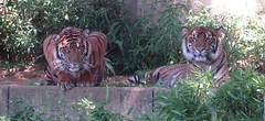 Tigers at the Zoo (Tavchdrell) Tags: washingtondc tedvisitdc dczoo