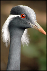 Demoiselle Crane (joyrex) Tags: bird nature animal topv111 1025fav zoo top20animalpix blijdorp crane topc50 explore top20hallfame captive kraanvogel demoisellecrane anthropoidesvirgo jufferkraanvogel specanimal