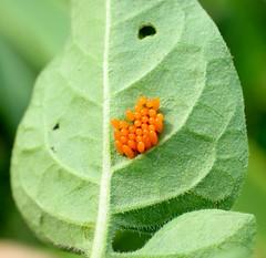 Colorado Potato Beetle eggs on Nightshade leaf