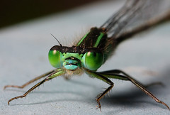 Damselfly closeup (Lord V) Tags: macro bug insect damselfly specinsect