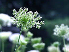 Queen Ann's Lace (Muffet) Tags: flowers summer dof