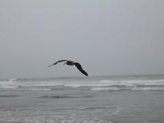 IMG_1258 (konkler) Tags: seagull fortfunston