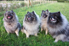 the gang of four (dancing_with_wolves) Tags: friends dog chien pet pets dogs furry husky fluffy fluff keeshond keeshonds fluffies keeshonden wolfspitz