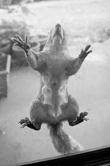 Crazy Squirrel (Mark Klotz) Tags: canada animals vancouver cat crazy squirrel funny bc screendoor silvie markklotz