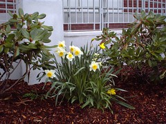 004 Daffodils - Adams Public Library MAY 8, 2003 (BARBARAJEAN) Tags: chelmsfordpubliclibrary