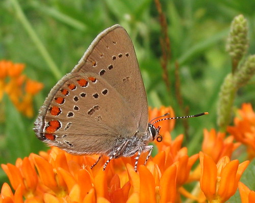 Coral hairstreak, on butterflyweed