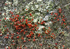 British soldiers on rock (Martin LaBar (going on hiatus)) Tags: rojo soldiers british lichen blueridgeparkway liquen britishsoldiers cladoniacristatella cladoniaceae