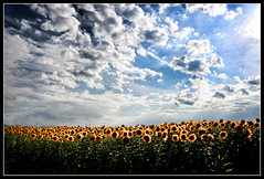 No Fields of Barley... (Cilest) Tags: blue sky white flower green nature field yellow clouds wow landscape cilest topc75 sunflower fieldofgold beautifulsigisky
