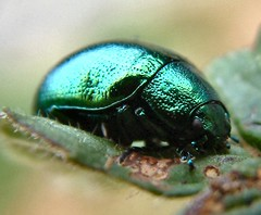 IRIDESCENT BEETLE (mark h2) Tags: macro green shine metallic beetle iridescent jewelscarab
