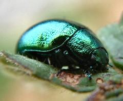 IRIDESCENT BEETLE (mark h2) Tags: macro green shine metallic beetle iridescent jewelscarab