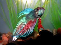 Newest addition... Roofus! (ultrasupergenius) Tags: roofus beta fish cheaper aquarium
