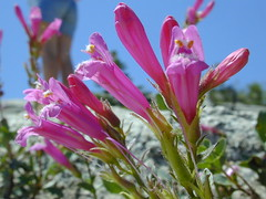 Mountain Pride (Dawn Endico) Tags: california pink flower nationalpark native wikipedia yosemitenationalpark scrophulariaceae penstemon sierranevada wildflower oddshaped wfgna penstemonnewberryi mountainpride
