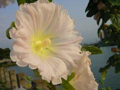 satellite dishes (aocrane) Tags: flowers summer 05 aomori city