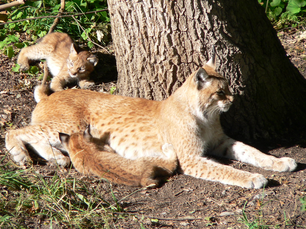 Mama Lynx With Litter of Baby