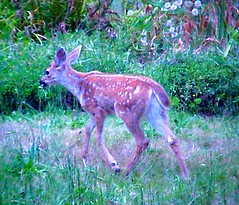 Spotted Fawn in Anna Leigh's Yard (artsy) (Pixel Packing Mama) Tags: nature beautiful wow fawn catsandkittensset furryfriday flickrwow allanimals oregonwildlife babydeer pieplatesbirthday pixelpackingmama mayberryrfdruralpeoplerurallives dorothydelinaporter worldsfavorite cbat uploadedtoflickr2005set favupmovedtofavoritedpixvol2 favoritedpixvolii~1sthalfof2009set pixelpackingmama~prayforkyronhorman oversixmillionaggregateviews over430000photostreamviews