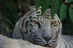 Silver the White tiger (Ann Gennaria) Tags: portrait cats nature animal animals closeup zoo canon300d tiger tigers lapettit closeups silverthewhitetiger