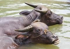 Water Buffalo Pair (Rob Millenaar) Tags: china guizhou creatures travel