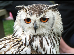 Bengal Eagle Owl (_pauls) Tags: bird 510fav owl predator captive bengaleagleowl bilbo falconry thorpperrow