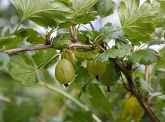 Stikkelsbær - Gooseberries - uvaspina - klapbessen - kruisbessen