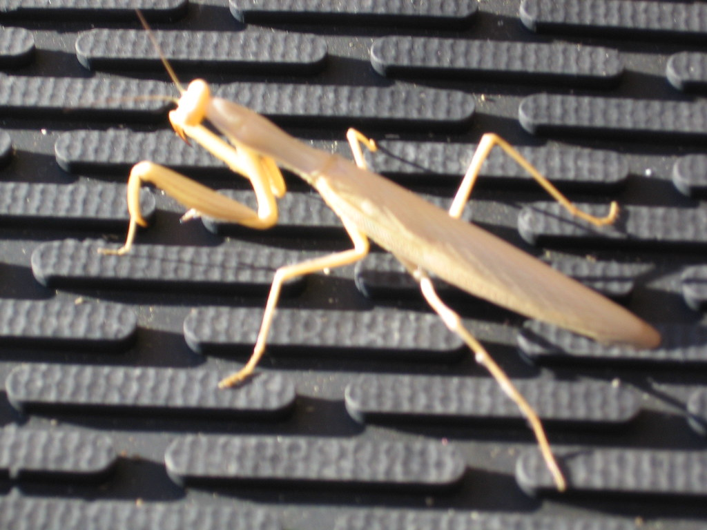 Beige Praying Mantis on the rubber rug at work
