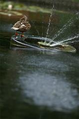 (α) Tags: duck