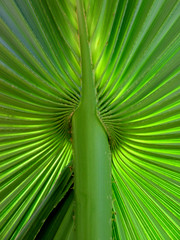 radiating (*omnia*) Tags: green lines topv111 leaf pattern australia palm northernterritory palmleaf