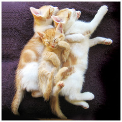 Ukkie and his Big Brothaz (*roes*) Tags: sleeping cats baby cute topf25 animal animals topv111 topv2222 1025fav cat wow wonderful snuggle three topv555 topv333 kitten searchthebest gorgeous topv1111 great topv999 topv444 topv222 awsome together kitties mostinteresting faves topv777 100 topv3333 topv666 kittie topv888 interestingness423 domesticates i500 1500v60f cc100 cat1000 cc3700 bestofcats pet1500 world100f pet5000