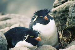 Angry Birds? (tim ellis) Tags: holiday bird penguin antarctica rockhopperpenguin eudypteschrysocome msh0912 msh091213