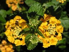 Yellow Lantana (janinewhite) Tags: chandler az arizona yellow green lantana macro flowers buds zoomzoom fractals geotagged geolat33245417 geolon111884186 lantanacamara camara jgoldpac 2005 15fav