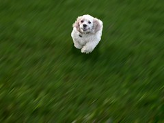 See Pepper Run () Tags: dog green digital pepper happy backyard running spaniel cocker cockerspaniel