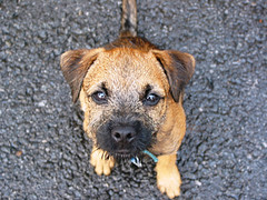 Tony aka Beelzebub (Ingrid!) Tags: nyc dog newyork topf25 puppy topv333 tony 10011 newyorknewyork ingridspangler borderterrier pureevil beelzebub wonderingwhereheis whoheiswith whetherhelleverreturnoneday thinkingoftony boundlessenergy