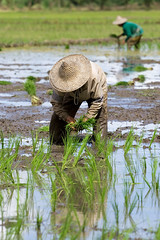 PlantRice_1 (Dale Allyn) Tags: life food water hat work thailand rice canon20d labor itsongselection1 mirrorsofsociety burmese planting canon70200f4l itsong–canoneos20d itsong–mirrors–southeastasia itsong–men–atwork–southeastasia mirrors–menatwork
