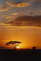 Sunrise in the Serengeti (DragonWoman) Tags: africa tree sunrise ilovenature tanzania serengeti acacia scannedfromfilm 123sky winning25